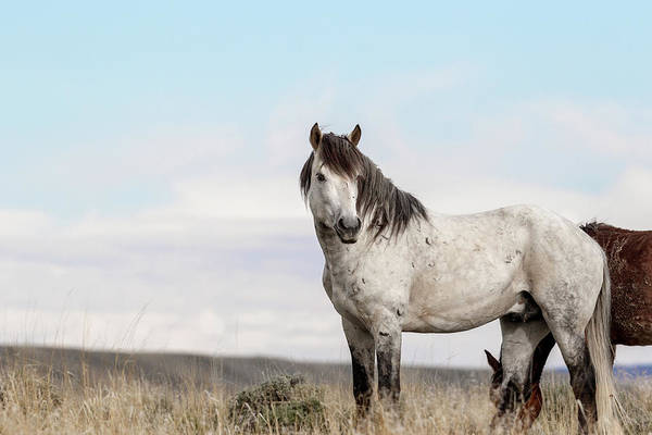 Photograph - Grey Wild Stallion by Ronnie and Frances Howard