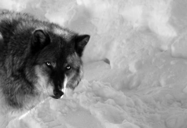 Photograph - Grey Wolf Bw by Anthony Jones