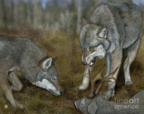 Painting - Grey Wolf Canis Lupus - Wolf - Ulv - Varg - Fine Art Print - Stock Illustration - Stock Image by Urft Valley Art