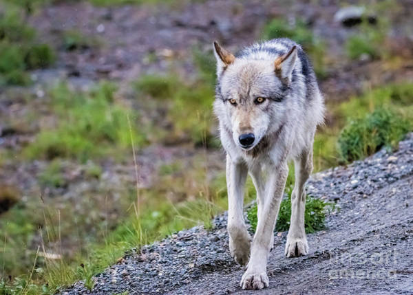 Photograph - Grey Wolf In Denali National Park, Alaska by Lyl Dil Creations