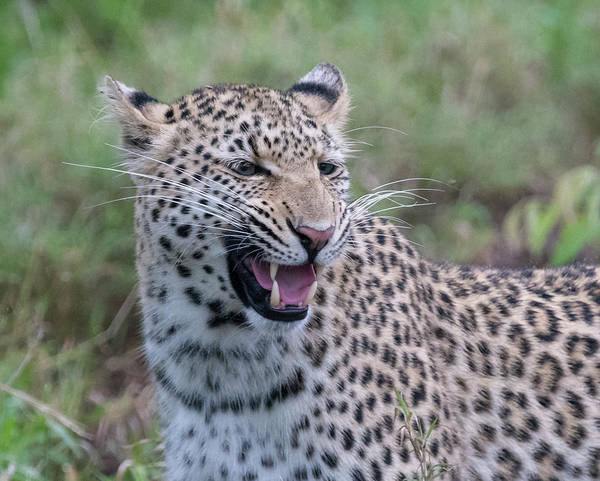Photograph - Grimacing Leopard by Mark Hunter