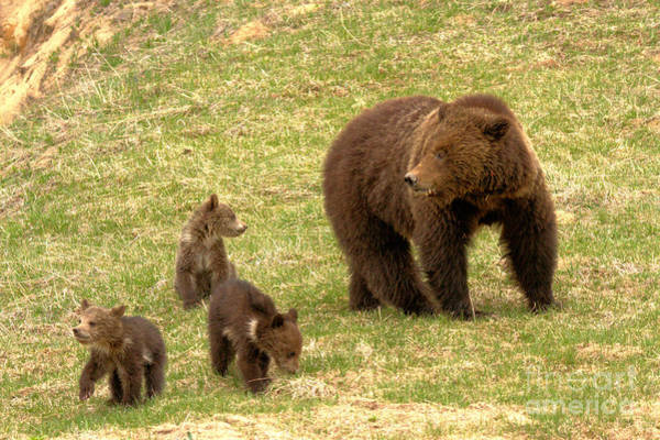 Photograph - Grizly Sow With A Litter by Adam Jewell
