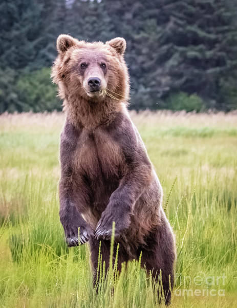 Photograph - Grizzly Bear Standing by Lyl Dil Creations