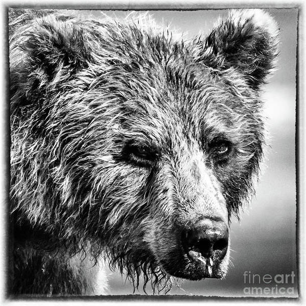 Photograph - Grizzly Bear Portrait by Lyl Dil Creations