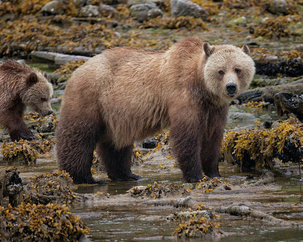 Photograph - Grizzlies by Randy Hall