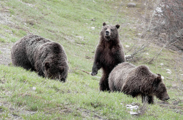 Photograph - Grizzly 610 And Cubs by Ronnie and Frances Howard