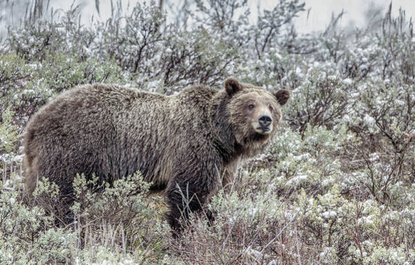 Photograph - Grizzly 610 by Ronnie and Frances Howard
