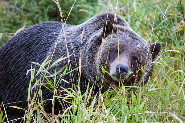 Wall Art - Photograph - Grizzly Bear, Canada by Matteo Colombo