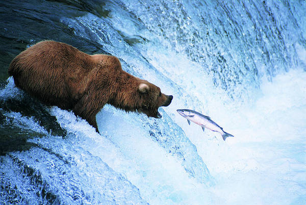 Wall Art - Photograph - Grizzly Bear Feeds On A Jumping Salmon by Ron Crabtree