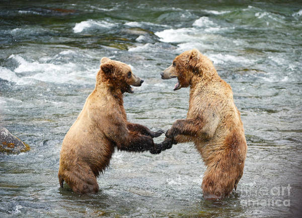 Wall Art - Photograph - Grizzly Bear Fighting In A River At by Saraporn
