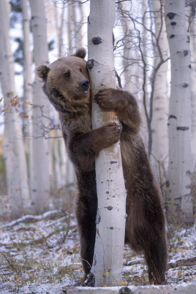 Wall Art - Photograph - Grizzly Bear Grabbing Tree, North by A & C Wiley/wales