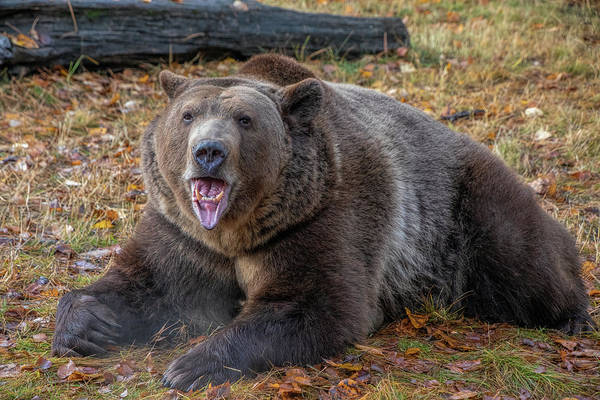 Photograph - Grizzly Bear In The Fall by Teresa Wilson