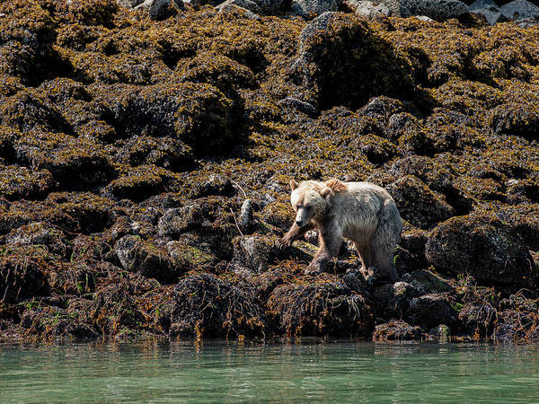 Wall Art - Photograph - Grizzly Bear by Laurence Appaix