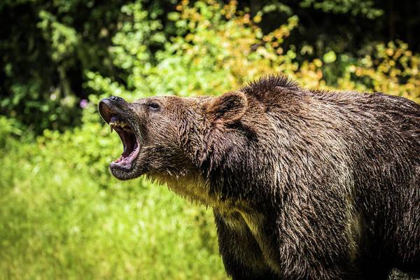 Wall Art - Photograph - Grizzly Bear, Montana, Usa by Yitzi Kessock