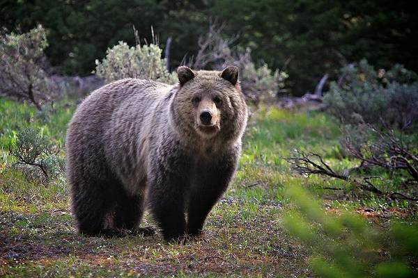 Grizzly Bears Photograph - Grizzly Bear National Park by Douglasmccartneyphotography