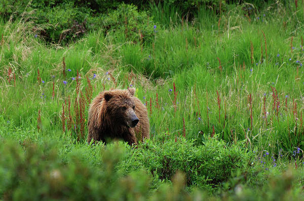 Grizzly Bears Photograph - Grizzly Bear by Noppawat Tom Charoensinphon