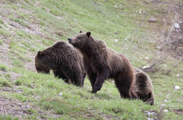 Photograph - Grizzly Bear by Ronnie and Frances Howard