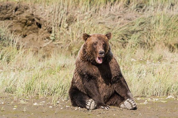 Wall Art - Photograph - Grizzly Bear, Sitting At The Edge by Brenda Tharp
