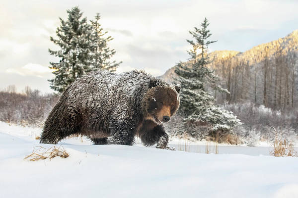 Wall Art - Photograph - Grizzly Bear  Ursus Arctic Sp.  Walking by Doug Lindstrand