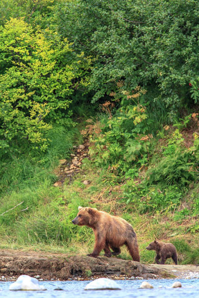 Born In The Usa Photograph - Grizzly Bear Ursus Arctos Cub Following by Danita Delimont