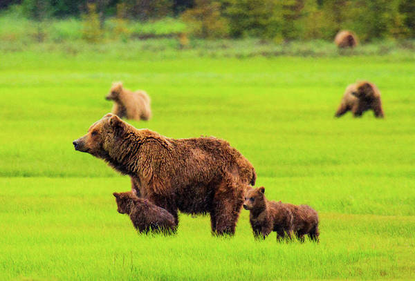 Grizzly Bears Photograph - Grizzly Bears On Alert, Katmai by Feng Wei Photography