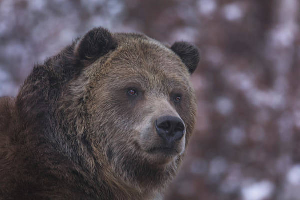 Photograph - Grizzly  by Brian Cross