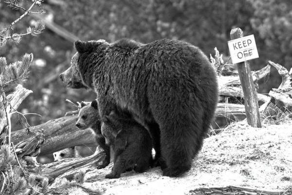 Photograph - Grizzly Coys Waiting For Direction Black And White by Adam Jewell