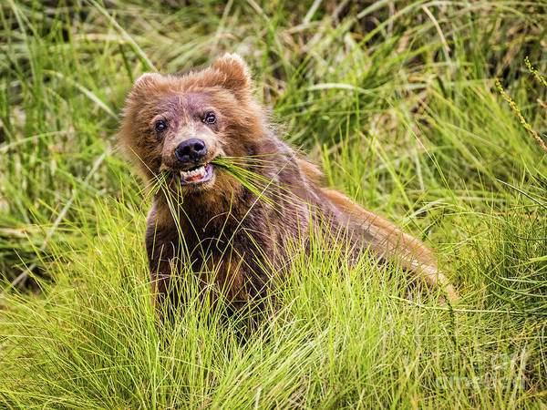 Photograph - Grizzly Cub Grazing, Alaska by Lyl Dil Creations