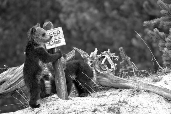 Photograph - Grizzly Cubs At The Yellowstone Thermal Features Black And White by Adam Jewell