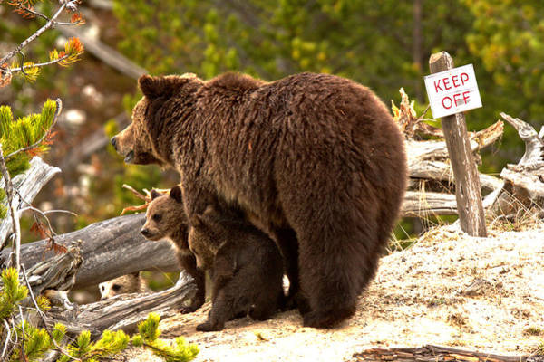 Photograph - Grizzly Family At Roaring Mountain by Adam Jewell
