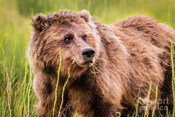 Photograph - Grizzly In Lake Clark National Park, Alaska by Lyl Dil Creations