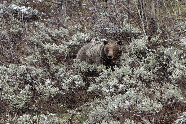 Photograph - Grizzly Mom by Ronnie and Frances Howard