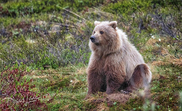 Photograph - Grizzly Sitting by David A Lane