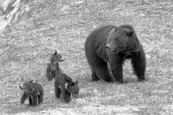 Photograph - Grizzly Sow With A Litter Black And White by Adam Jewell