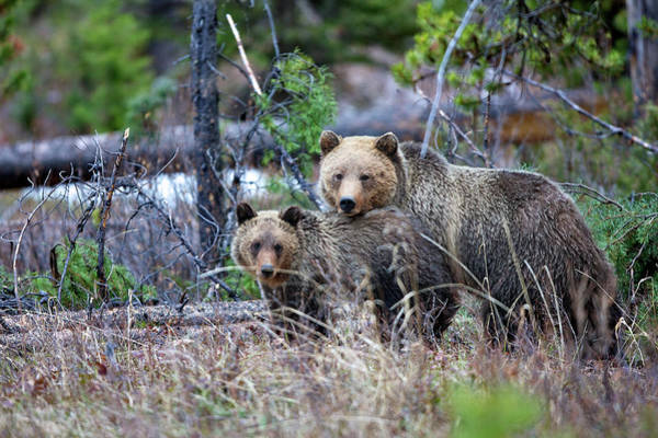 Born In The Usa Photograph - Grizzly Sow With Cub by Bucks Wildlife Photography