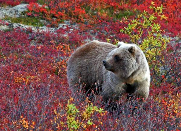 Grizzly Bears Photograph - Grizzly Sub Adult In Colors by Rebecca Tifft Photography