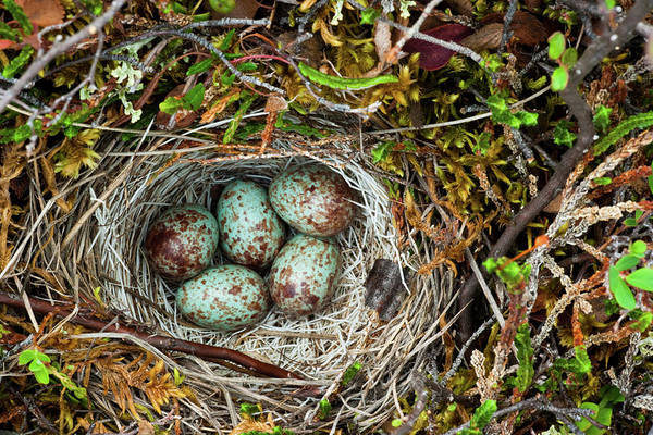 Hiding Photograph - Ground Nest, Arctic National Wildlife by Mint Images/ Art Wolfe