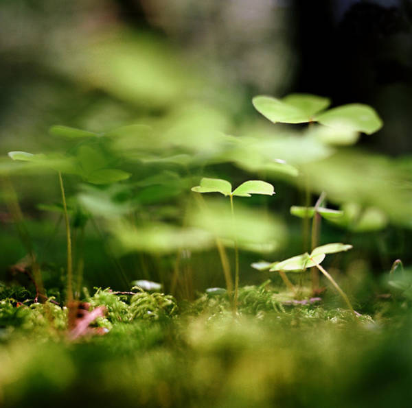 Luck Photograph - Ground View Of Tiny Clover by Danielle D. Hughson