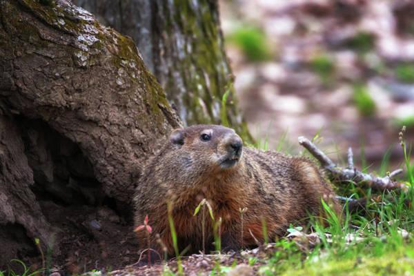 Photograph - Groundhog  by Susan Rissi Tregoning