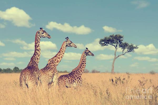 Wild Grass Photograph - Group Giraffe In National Park Of by Volodymyr Burdiak