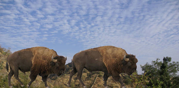 Group Of Bison Walking Against Rocky Mountains  Art Print