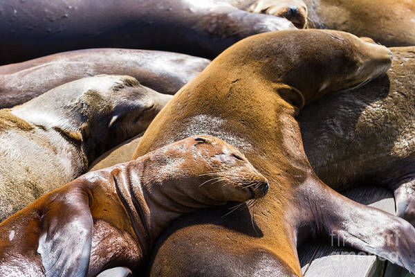 Travel Destinations Wall Art - Photograph - Group Of California Sea Lions Sun by Wollertz