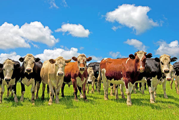 Photograph - Group Of Cows In A Field by Scott E Barbour