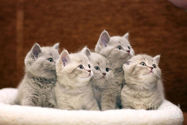 Life Together Photograph - Group Of Cute Gray British Kittens by Kichigin