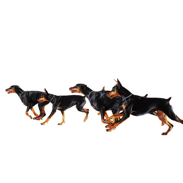 Doberman Wall Art - Photograph - Group Of Dobermans Running Against by Thomas Northcut