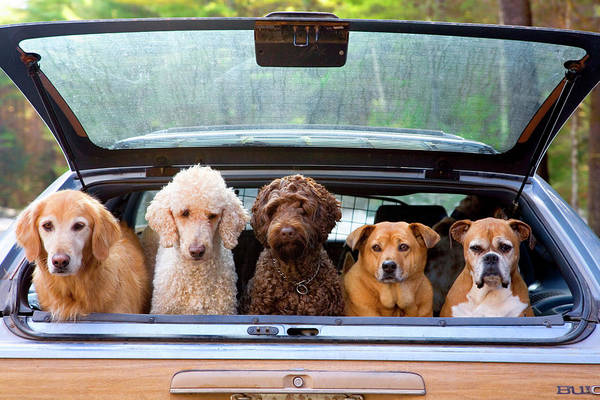 Poodle Photograph - Group Of Dogs Hanging Out In Trunk Of by Margo Silver