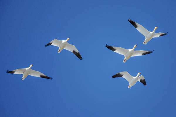 Wall Art - Photograph - Group Of Geese by Todd Klassy