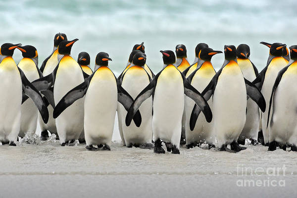 Falkland Island Wall Art - Photograph - Group Of King Penguins Coming Back by Ondrej Prosicky
