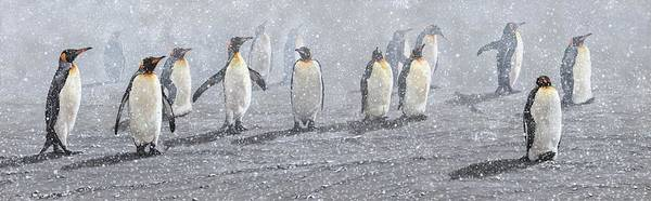 Painting - Group Of King Penguins In The Snow by Alan M Hunt