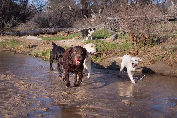 Wall Art - Photograph - Group Of Labrador Retrievers Running by Zandria Muench Beraldo